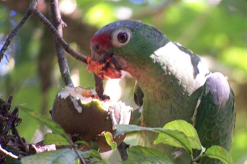 Redlored_parrot_1_b